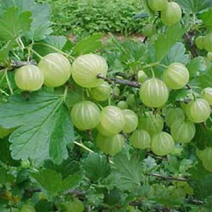 Amla (Indian Gooseberry) - Image